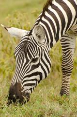 african zebra eating grass