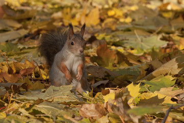 Red squirrel sitting on the foliage of maple