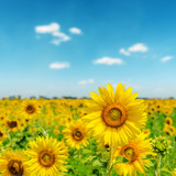 sunny day on field with sunflowers