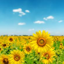 journée ensoleillée sur le champ de tournesols
