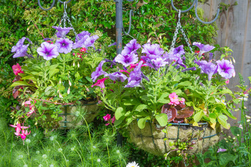 Trailing surfina petunias in hanging baskets