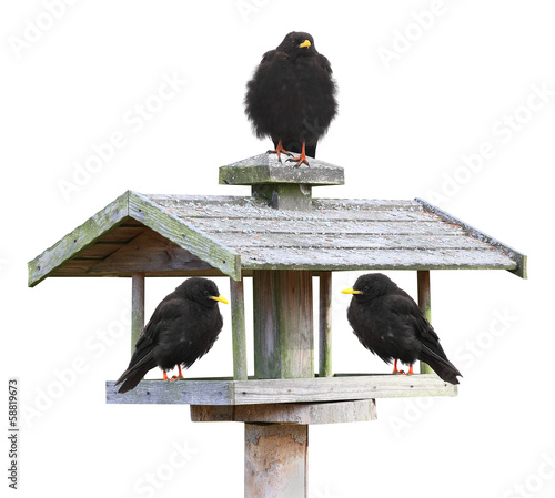 Three birds on a bird table isolated on a white background.