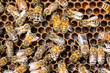 Honeybees Swarming On Comb