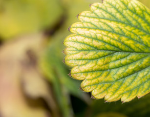background of strawberry leaf fall. macro