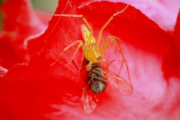 Closeup of small jumping spider eating fly