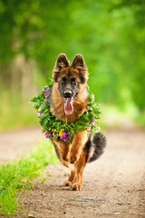 German shepherd dog running with flower wreath