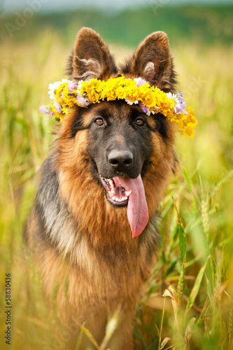 German shepherd dog with flower wreath