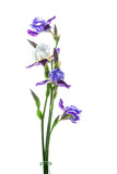 Blue and white irises on white background