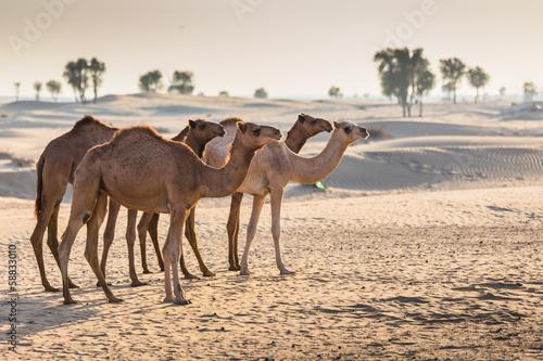 Deurstickers Kameel Desert landscape with camel