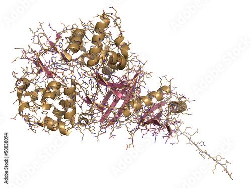 AMP-activated protein kinase (AMPK) fragment with AMP bound.