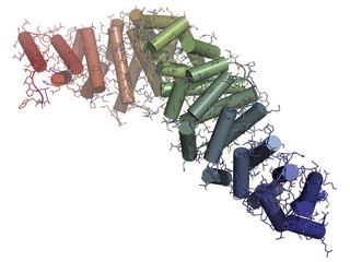 Beta-catenin (armadillo and C-terminal domain) protein.