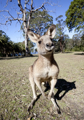 australian kangaroo wideangle