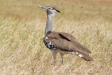 African bird, Kori Bustard, in the bush