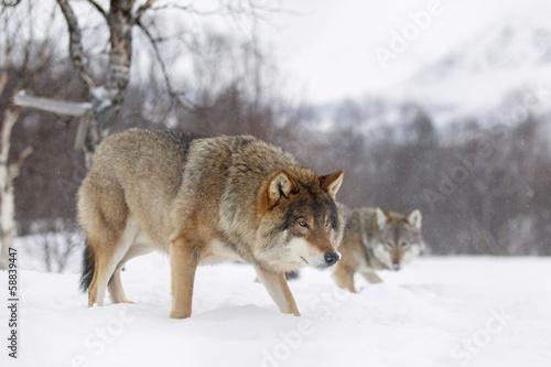 Deurstickers Wolf European wolf