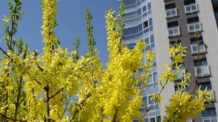 Forsythia yellow bush flower blooms move high flat house.