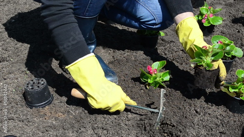 Woman girl plant begonia flowers into garden light soil earth