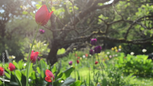 tulip flower blooms under decorative tree and rain water drops