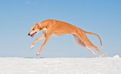 Greyhound running in winter