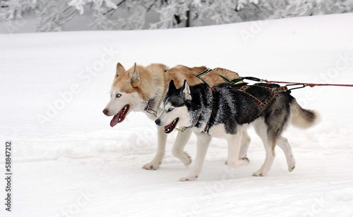 dogs in harness