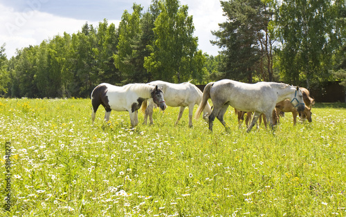 White horses on meadow in blossom