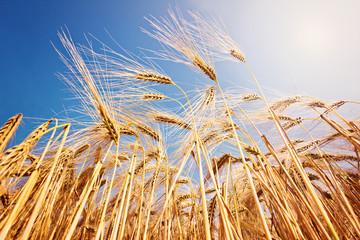 Reifes Getreide unter blauem Himmel