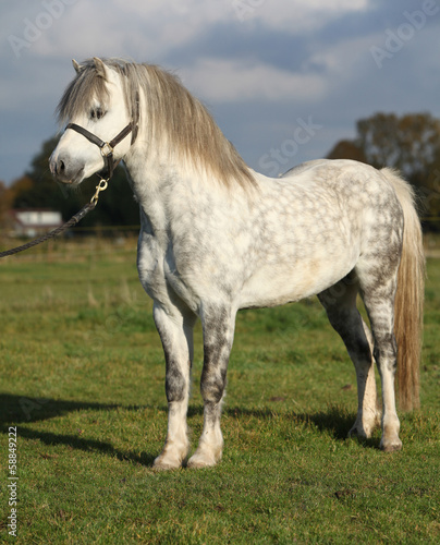 White welsh mountain pony with black halter