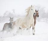 Fototapety Batch of horses running in winter