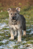 Gorgeous puppy of wolfdog in winter
