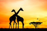 giraffes in love at sunset