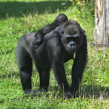 A sunlit gorilla female with her baby on her back.