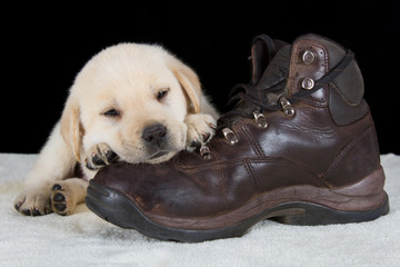 Puppy labrador sleeping on old walking shoe