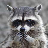 The head and hands of a cute and cuddly raccoon