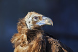 The Cinereous Vulture (Aegypius monachus) Black Vulture