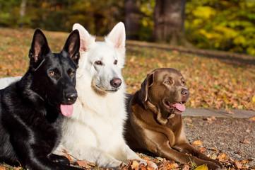 Three Dogs in the Autumn Sun