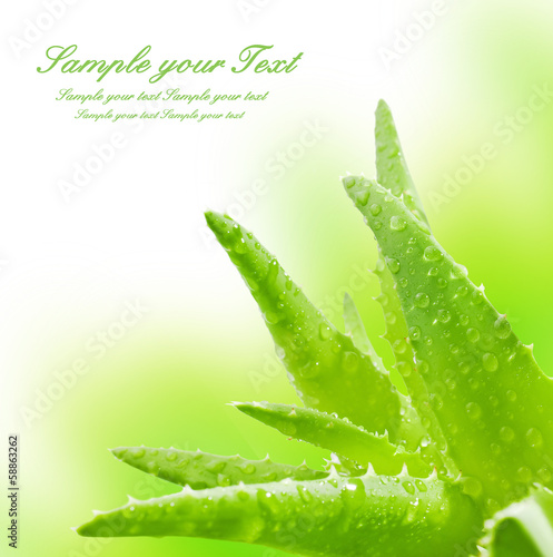 Foto op Canvas Cactus Green leaves of aloe plant close up