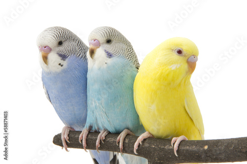 Papiers peints Perroquets three budgies are in the roost