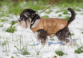 Miniature schnauzer in brown leather jacket walking on snow