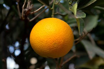 Orangen am Baum, Mittelmeer