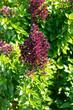 Basilikum mit Blumen
