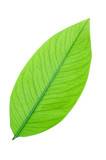 Green leaf isolate on white background, clipping path.