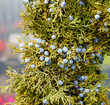 Juniper greens with berries for decoration