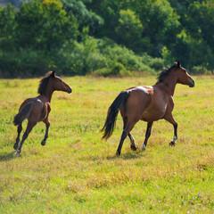 Running dark bay horses