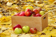 crate of fresh ripe apples in garden on autumn leaves