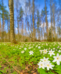 anemones flowers clearing in birch forest