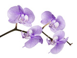 dark lilac orchid spotted flower branch