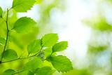 Fototapety green leaves