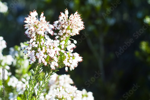 Heather Ling (Calluna vulgaris)
