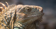 Picture a large green iguana, closeup