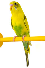yellow budgie