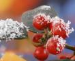 rote Beeren Stechpalme mit Schnee